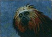 Lion Tamarin, colour pencil on black paper 29x41cm