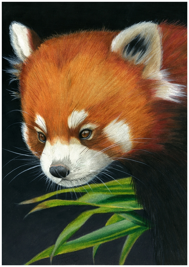 red panda color pencil drawing